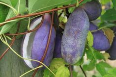 Akebia quinata - Chocolate vine The fruits have many minerals