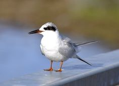 Forester's Tern, Georgia and Florida