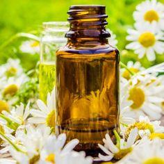 Roman Chamomile Essential Oil Benefits