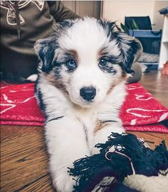 More About The Intelligent Aussie Puppies Health Australian Shepherds, Australian Shepherd Puppies, Aussie Puppies, Cute Puppies, Cute Dogs, Dogs And Puppies, Doggies, Baby Animals, Funny Animals