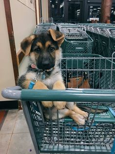 Old German Shepherd with some aggression issues! German Shepherd Trainers in Virginia! Super Cute Puppies, Super Cute Animals, Cute Dogs And Puppies, Cute Little Animals, Baby Dogs, Cute Funny Animals, I Love Dogs, Doggies, Cutest Animals