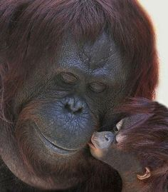 Baby Oerang Oetang gives mom a kiss. . . .so precious
