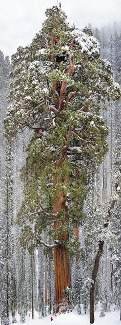 The President: a tree so big that it took 126 frames to properly capture its 247 feet of glory. The tree is more than three thousand years old. Can you find all three climbers? – Photo by Michael Nichols/National Geographic