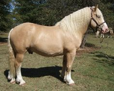 Joker's Golden Boy, an American Cream Draft stallion, is owned by Walker Farms. He is the only registered American Cream Draft stallion that is also a minimal sabino!