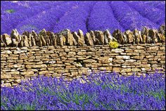 A Purple Day One Summer.  Somerset Lavender, Faulkland, England.