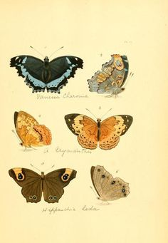Plate of Lepidoptera...