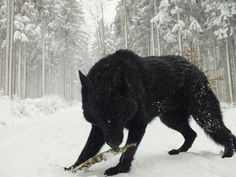 black wolf , so mystical, strong, and independent. a pure WONDER of the wilderness!
