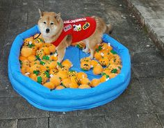 Shiba Inu Kitsune in a pool of toys.  Love Shiba Inus? Learn more about this breed at www.myfirstshiba.com.
