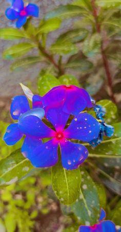 Periwinkle Flowers, Plants, Plant, Planets