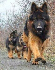 Momma German shepherd and her pups out in a walk
