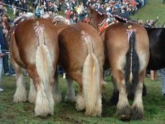 draft horse breeds | Draft bums