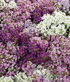 Alyssum, does well in shade, safe for dogs.