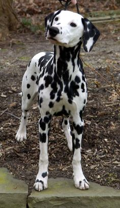 When me and Blake have the resources we will adopt a Dalmatian. No questions asked. Drive to CA if we have to. Name choices (if we get one) are Pongo, Perdita, or Lucky.