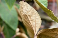 Schefflera macrophylla  - License Botanical Images & Stock Photography  from http://archive.chrisridley.co.uk - This image is Copyright Chris Ridley.