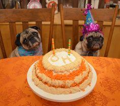 ljcfyi: Happy Birthday Pugs!