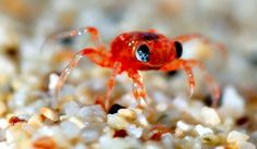 2 of 4: Crabs of Christmas Island continued... This is a baby red crab returning to Christmas Island from the sea. How cute is he?! Find out the best time of year to spot him at http://www.suitcasesandstrollers.com/articles/view/family-adventure-holidays-christmas-island-with-kids?l=all #GoogleUs #suitcasesandstrollers #travel #travelwithkids #familytravel #familytraveltips #traveltips #babies #baby #babyanimals #crabs #ChristmasIsland @christmasisland