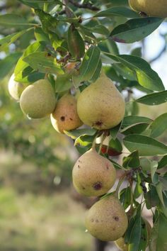 Sicilian Pears