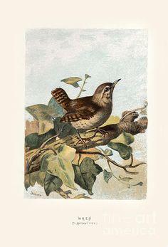 Wren 'Familiar Wild Birds' W. Vintage Bird Illustration, Botanical Illustration, Illustration Art, Vintage Illustrations, Vintage Birds, Vintage Ephemera, I Like Birds, John James Audubon, Vintage Artwork