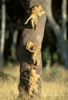 Adorable lion cubs climbing a tree Nature Animals, Animals And Pets, Beautiful Cats, Animals Beautiful, Big Cats, Cats And Kittens, Cute Baby Animals, Funny Animals, Raza Pug