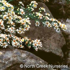 "Wishlist: Aster ericoides 'Snow Flurry'; one of the folks in town has this ""no care"" easy speciman here."