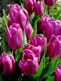 purple_tulips_in_washington_ by_melonamen
