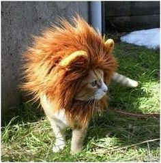 This cat is the king of the jungle. #catlife