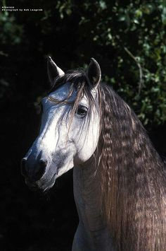 Photo of Alborozo, an Andalusian Stallion from Kilimanjaro Ranch in Malibu, California