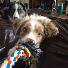 My four month old Australian Shepherd puppy, Nala, wanting to play.