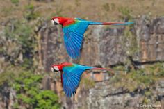 Red-and-green Macaw (Ara chloroptera) Red-and-green macaws in flight, taken at Chapada dos Guimaraes National Park in Brazil