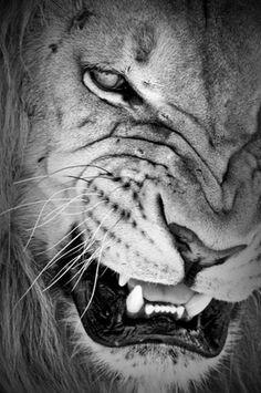 animals, lion, gorgeous, fierce #bornfreefoundation