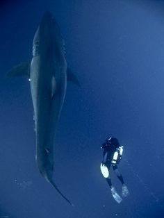 Great White Shark (Carcharodon Carcharias) This really brings it home with how large these magnificent beasts can get. Bigger boat, indeed! Orcas, Shark Bait, Shark Fish, Jacques Cousteau, Deep Blue Sea, Great White Shark, Ocean Creatures, Shark Week, Jolie Photo