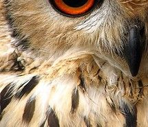 indian eagle owl / woolybackviks picture on VisualizeUs