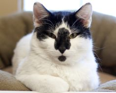 ADOPT Brutus! Short Hair Cat in Fargo, ND. Brutus is yet another big neutered male cat. He has very soft fur, almost bunny-like. He's a sweet, calm boy: very patient and gentle with ...