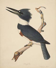 Kingfisher by peacay, via Flickr