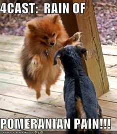 pomeranian They are much tougher than they look. They think they are giants and the big dogs will often back off from them.