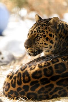 This is actually a Jaguar mislabeled: Amur Leopard by Eric Kilby   Leopards have smaller rosettes with no spots inside them, ever. Their heads and bodies are also shaped differently.