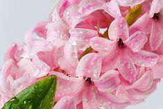 hyacint rozmnozovanie