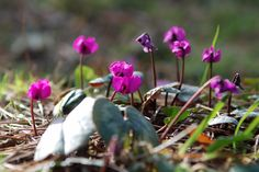 We only planted this gorgeous little Cyclamen coum at Glendurgan a few years ago - and they're already spreading. Soon we'll have carpets of jewels to surprise visitors in corners of the garden. #glendurgan #cornwall #cyclamen #spring #garden