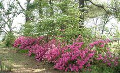 azalea+beds | Diana of Elephant's Eye asked us to name our signature plant, a hard ...