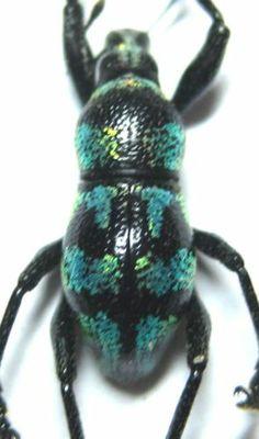 Metapocyrtus Species Male Metallic Green 10 5mm