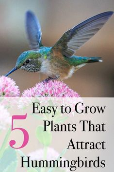 Plants that hummingbirds love and are easy to grow.  How to