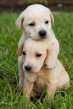 ►◄ Two adorable Golden Retrievers. #puppied
