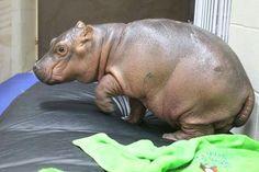 Fiona baby at Cincinnati Zoo