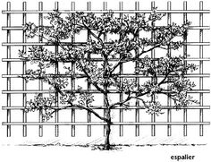 """Espalier plan for my Meyer Lemon. Plan, I said. Right now, it's just """"bent over""""."""
