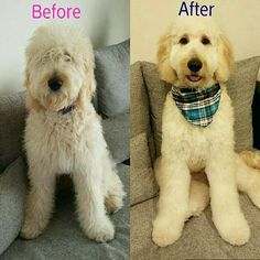 types of goldendoodle haircuts Mini Goldendoodle, Goldendoodle Haircuts, Goldendoodle Grooming, Dog Haircuts, Poodle Grooming, Standard Goldendoodle, Short Haircuts, Dog Grooming Styles, Pets
