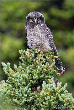 Northern Hawk-Owl (juvenile)