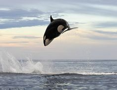 8 ton Orca jumps 15 feet in air chasing a dolphin Big Whale, Underwater Life, Delphine, Ocean Creatures, Mundo Animal, Killer Whales, Sea World, Ocean Life, Whales