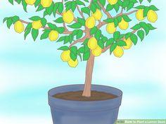 3 Ways to Plant a Lemon Seed - wikiHow