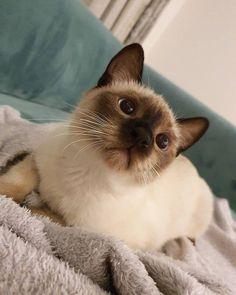 #siamesecat #siamesecat #catlovers #cutecats #blueeyes #cats #kittens #cuteeyes Siamese Kittens, Cute Cats And Kittens, Baby Cats, I Love Cats, Kittens Cutest, White Kittens, Funny Kittens, Bengal Cats, Cute Little Animals