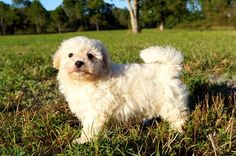 The Malti poo puppy is a little sweetheart, adopt one Malti poo from Florida Pups breeder.